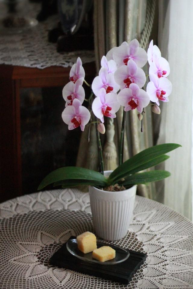 【花と団子】スリムパウンドとミディファレノのセット
