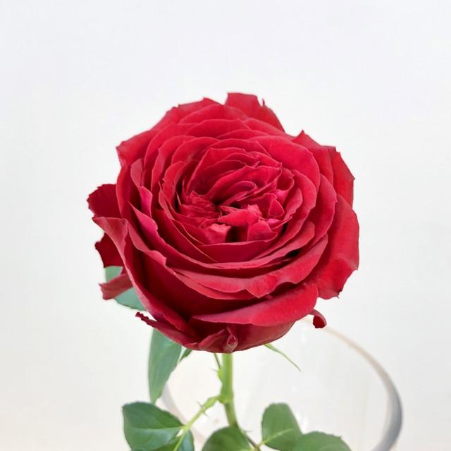 岡山県 大内ファームのバラ 20本 『 レッドエレガンス 』