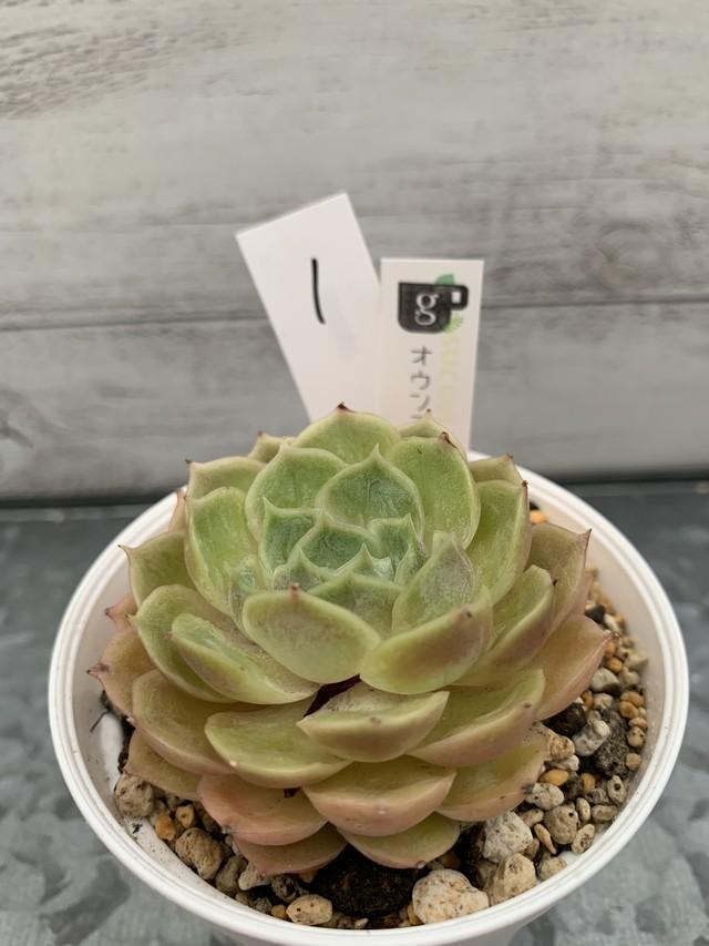 多肉植物 韓国苗 レッドモラン☆No.3