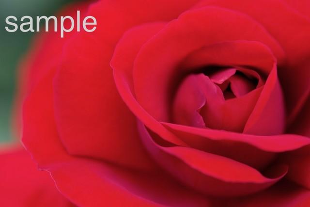 rose-2 写真データ