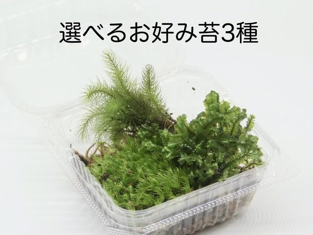 選べるお好み苔3種《苔テラリウム・コケリウム用生苔》