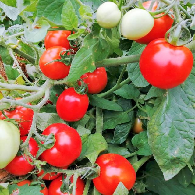 北海道オホーツク北見産 冷凍ホールトマト 2kg