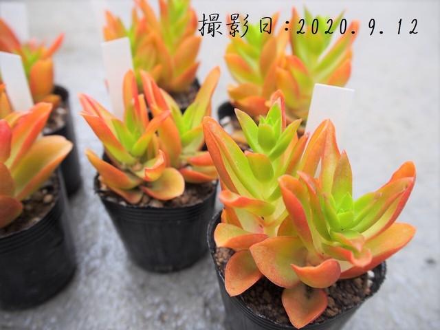 キャンディケイン(斑入クラッスラ属)多肉植物 カクタス長田 3号