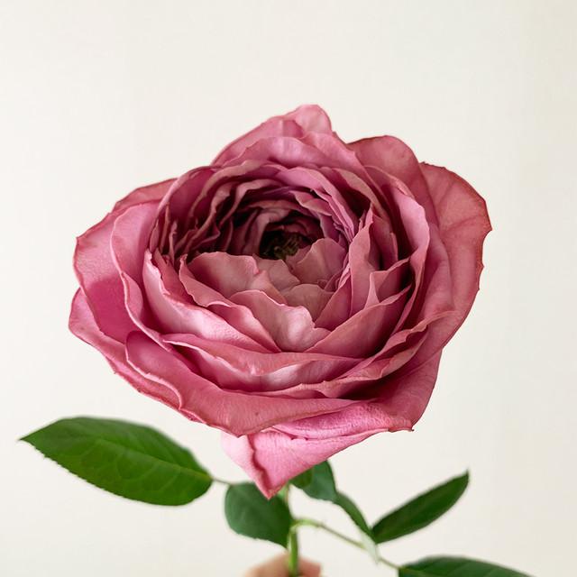 バラ 1本 (やぎバラ育種農園) ワンフラワー