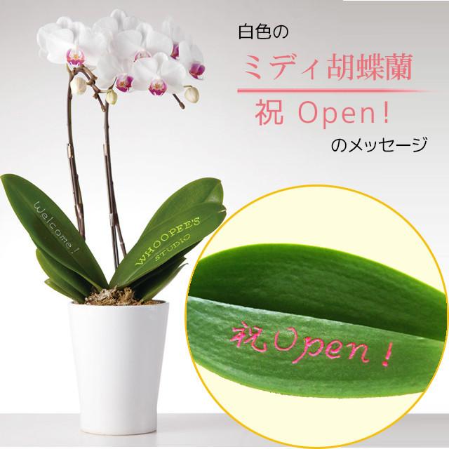 祝Open! - ミディ胡蝶蘭2本立.白色