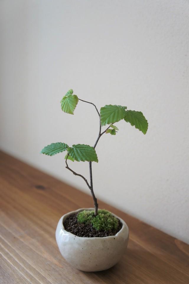 盆栽 カナシデ