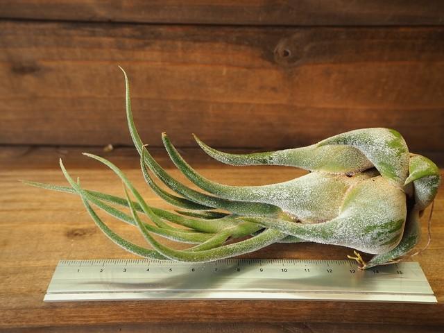 チランジア / セレリアナ (T.seleriana)