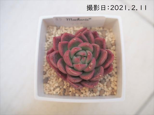 Arun(エケベリア属)韓国苗 多肉植物 新品種