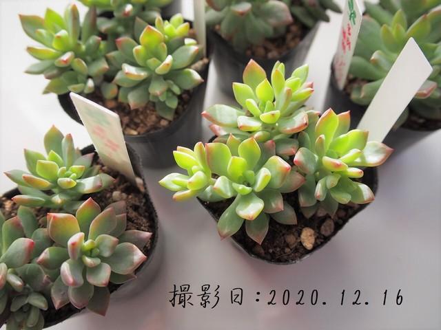多肉植物 リトルビューティー(セダム属)いとうぐりーん 産直苗 2号