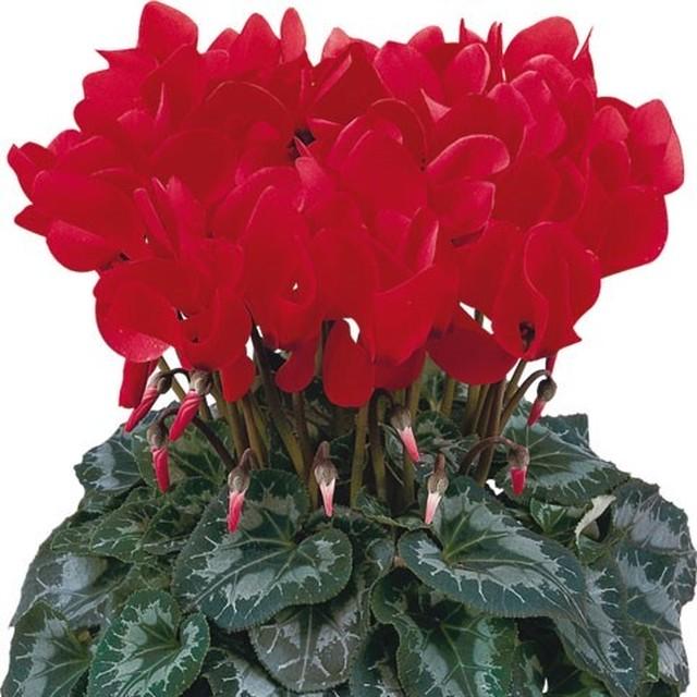 シクラメン花鉢  Halios ブライトスカーレット (登坂園芸)