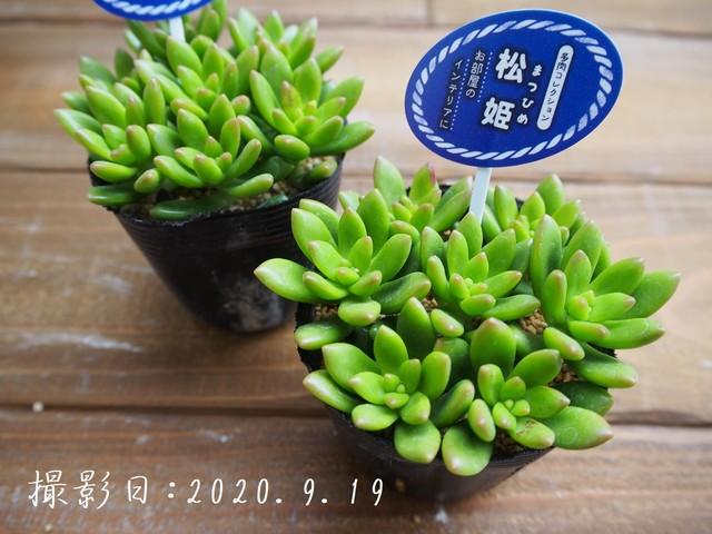多肉植物 プロリフェラ(セダム属)いとうぐりーん 産直苗 2号