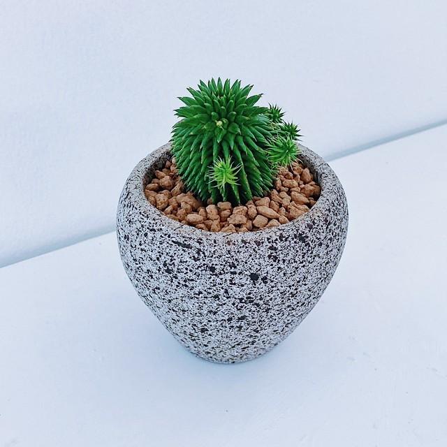 ユーフォルビア・ドラゴンボール(スザンナエ) Euphorbia susannae