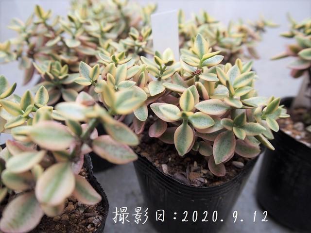 多肉植物 ボルゲンシス錦 斑入り(クラッスラ属)いとうぐりーん 産直苗