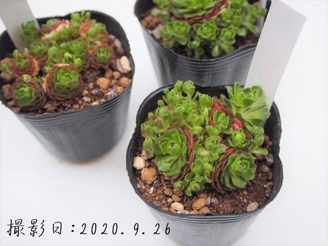 多肉植物 プラティフィラ(ロスラリア属)いとうぐりーん 産直苗 2号