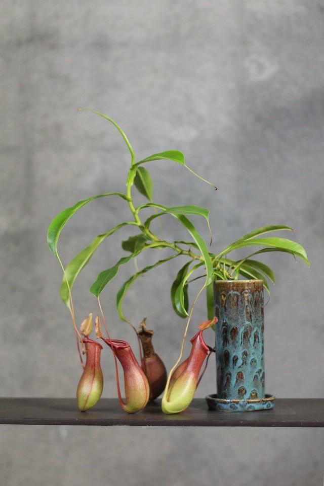 オリーブ【観葉植物】(おまけ付き)