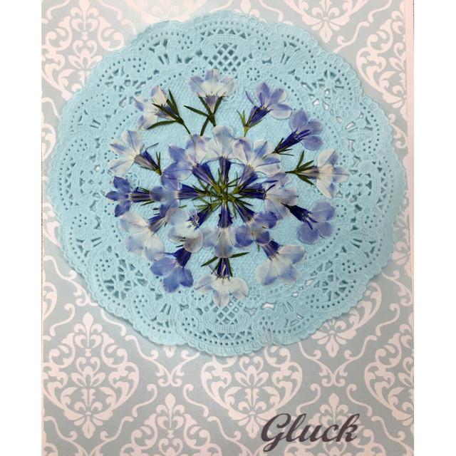 コンパクト押し花 ロベリア(ホワイト&ブルー) 少量をパックにしてお届け! 押し花素材