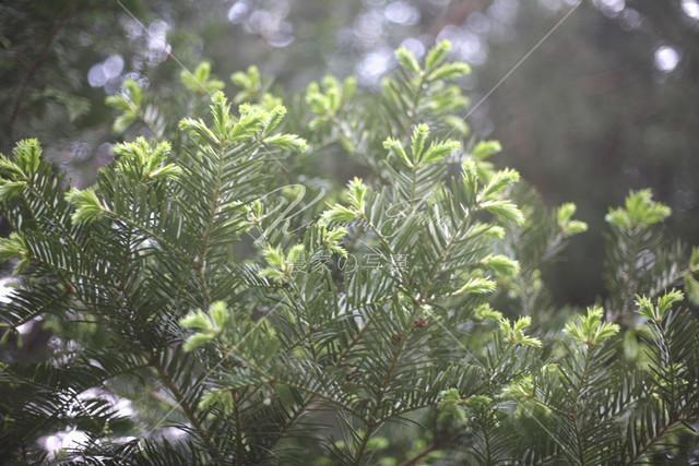 178 榧(カヤ)の木の新芽