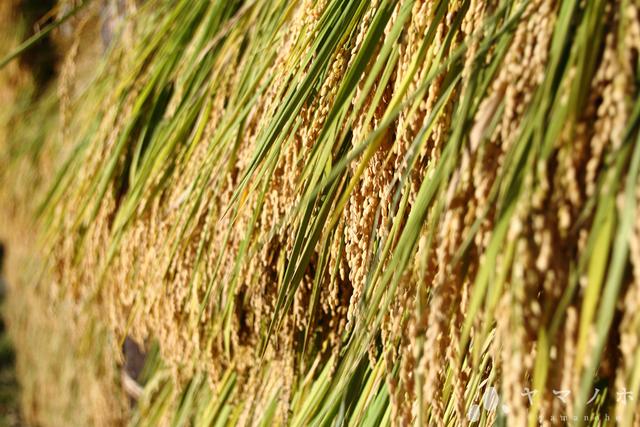 令和元年度産 こしいぶき  玄米10kg