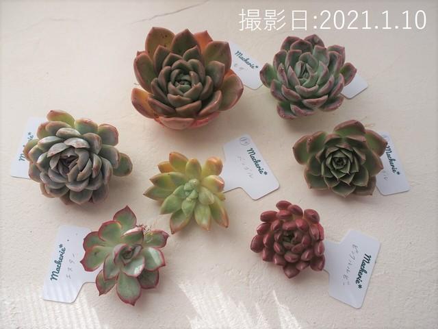 韓国苗お試しセットA(新品種4種&普及種3種セット)多肉植物