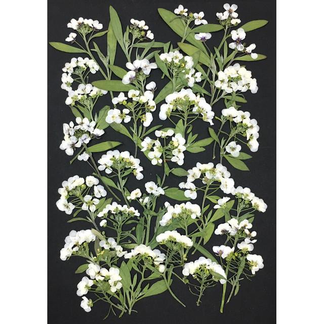 【増量フェア❀】コンパクト押し花 アリッサム(ホワイト 茎付き) 少量をパックにしてお届け! 押し花素材