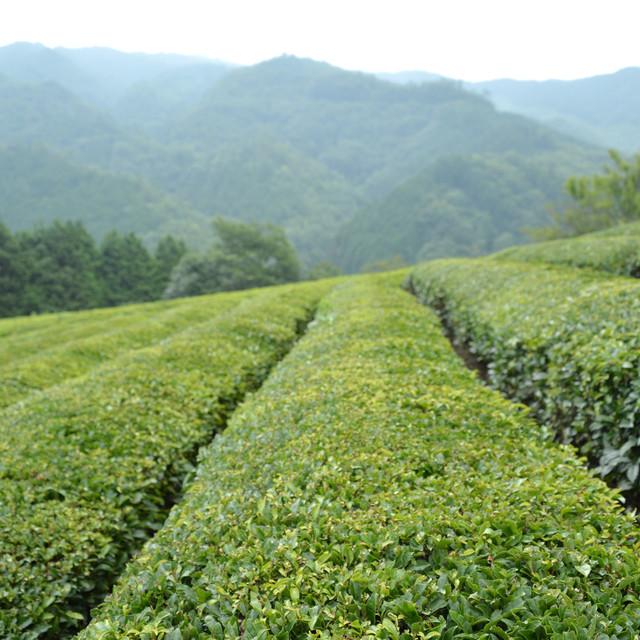 吉賀町 夢見る茶畑から 煎茶(ティーバッグ)