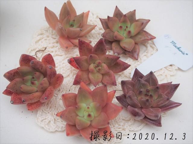【新品種】ザース 韓国苗 多肉植物