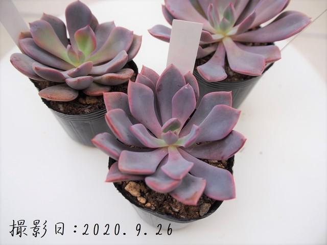 多肉植物 姫秋麗 ヒメシュウレイ(グラプトペダルム属)いとうぐりーん 産直苗 2号