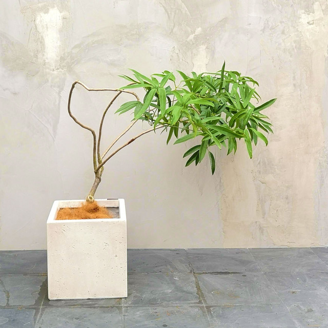 【現物】観葉植物 シェフレラ 7号・中型・※配送近隣限定 3-0006