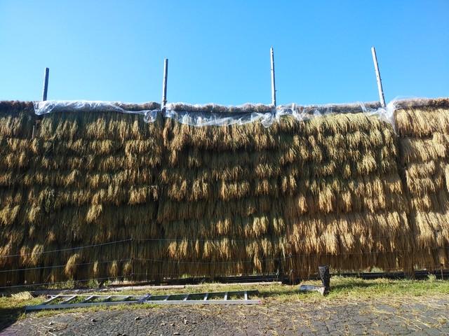 天日米コシヒカリ(無農薬・無化学肥料・稲木干し)30kg 「風の粒々」送料着払い