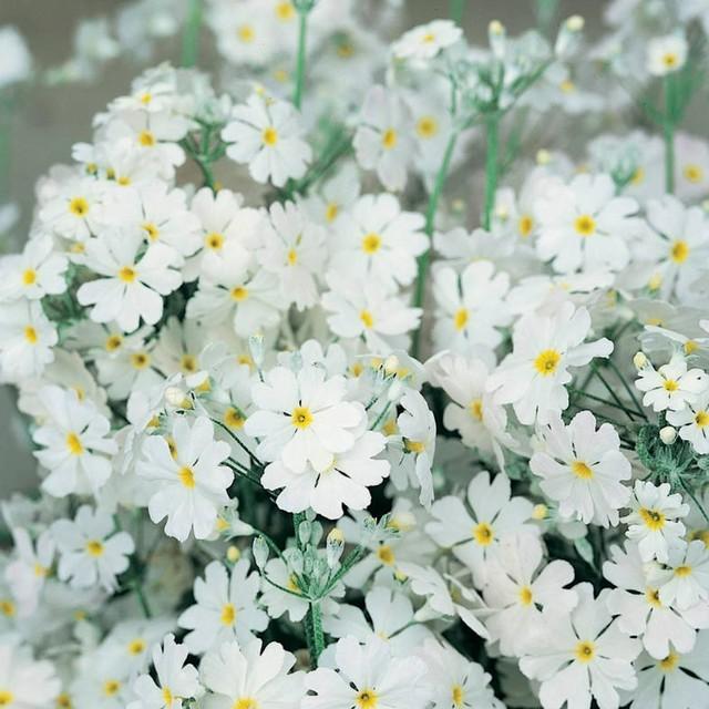 プリムラ マラコイデス Primula malacoides