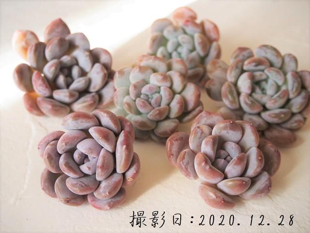 【新品種】リトルエコー 韓国苗 多肉植物