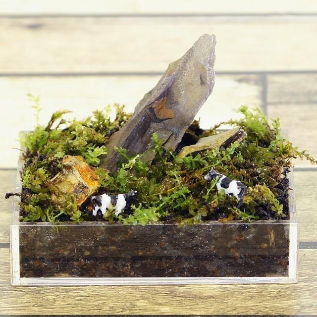 8cm 苔の草原 コツボゴケ 苔テラリウム 完成品 ウシのミニチュア模型付 現物 苔盆景 テラリウム 気孔石