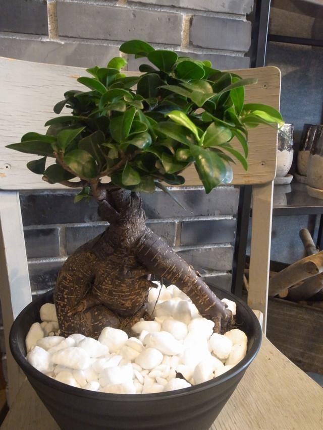 ガジュマル(Ficus microcarpa)