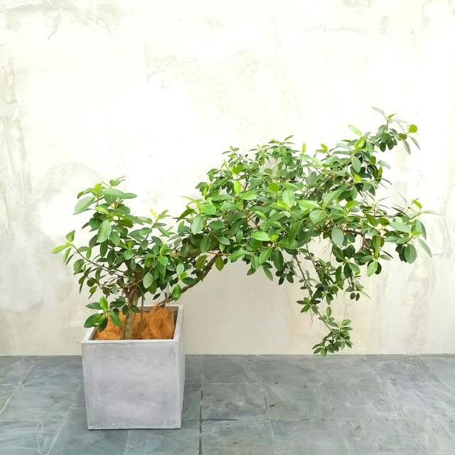 【現物】観葉植物 フランスゴム 8号・中型・※配送近隣限定 3-0024