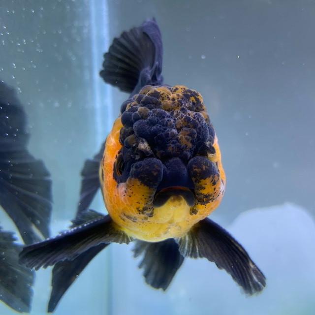 【金魚 生体】赤黒オランダ  (10センチ前後/タイ産) 金魚 生体