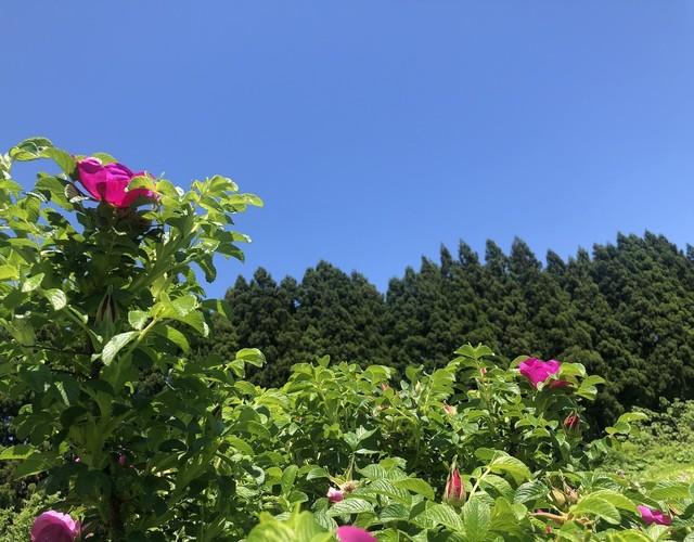 <数量限定>Japanese rose Cordial -edition 0- ハマナス花コーディアル 90ml入【超お試し価格】