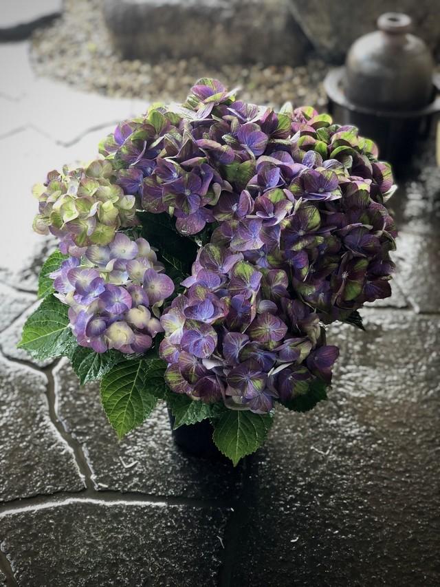 紫陽花マジカルグリーンファイアかご付き