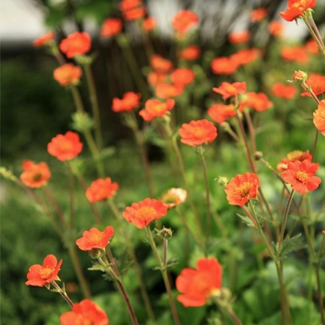 ゲウム(ダイコンソウ) Geum hybridum