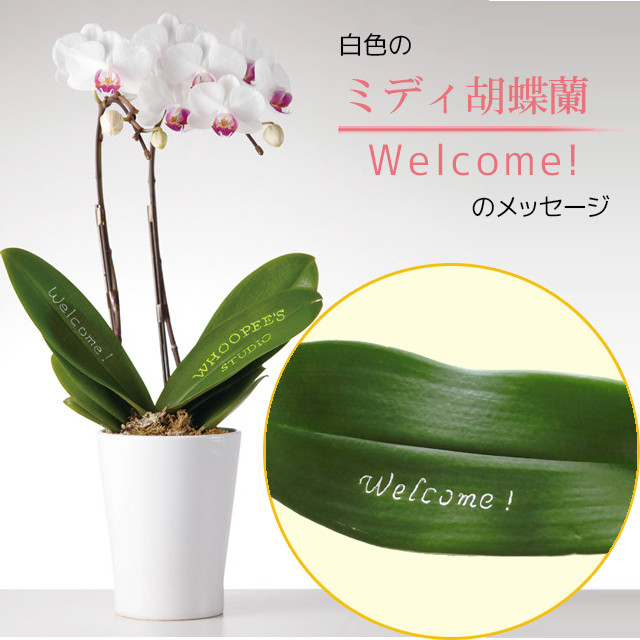 Welcome! - ミディ胡蝶蘭2本立.白色