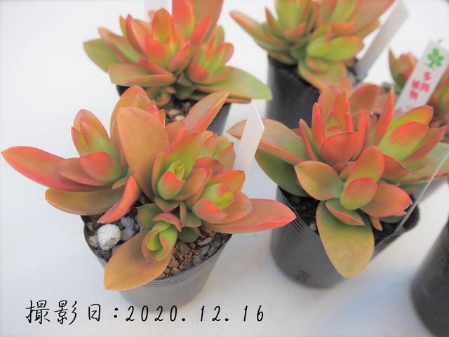 多肉植物 星の王子 ホシノオウジ(クラッスラ属)いとうぐりーん 産直苗 2号