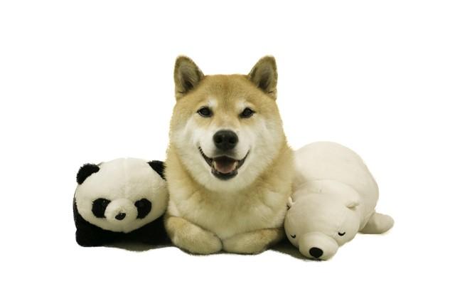 柴犬まる;ポストカード;ぷりけつ三兄弟のお顔
