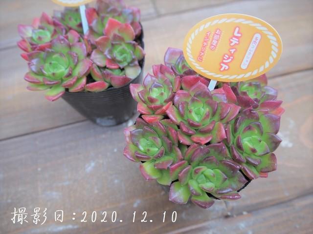 多肉植物 ドドランタリス(グリーノビア属)いとうぐりーん 産直苗 2号