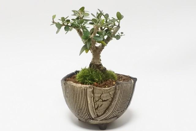 【オリーブ盆栽】オリーブ+アートな半球体「BOWL-L」