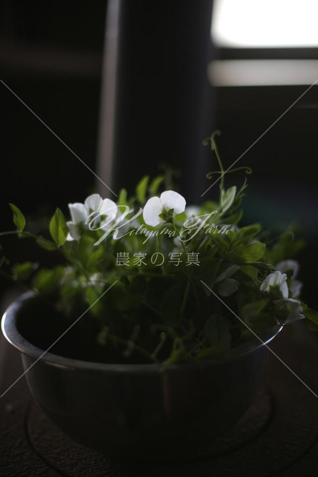 244 エンドウの花