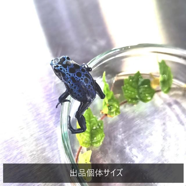 【1匹】コバルトヤドクガエル Dendrobates azureus