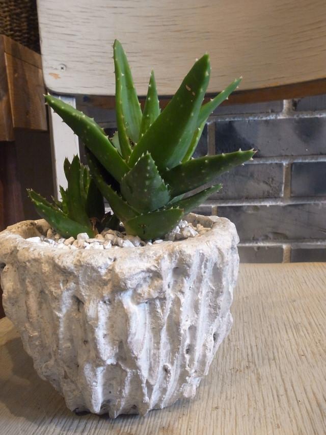 アロエ・ノビリス(Aloe nobilis):不夜城 鉢植えset