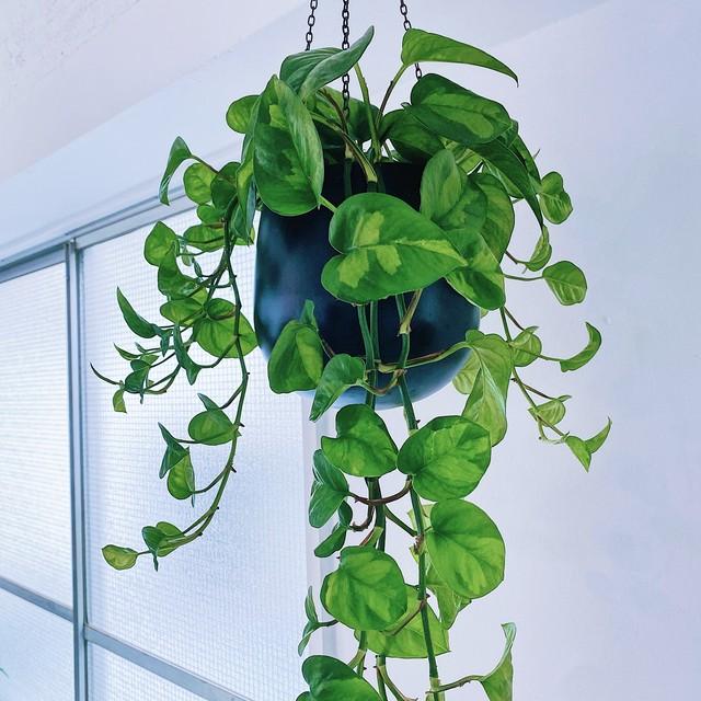 迷彩柄の新品種ポトスを吊り鉢で / ポトス・グローバルグリーン