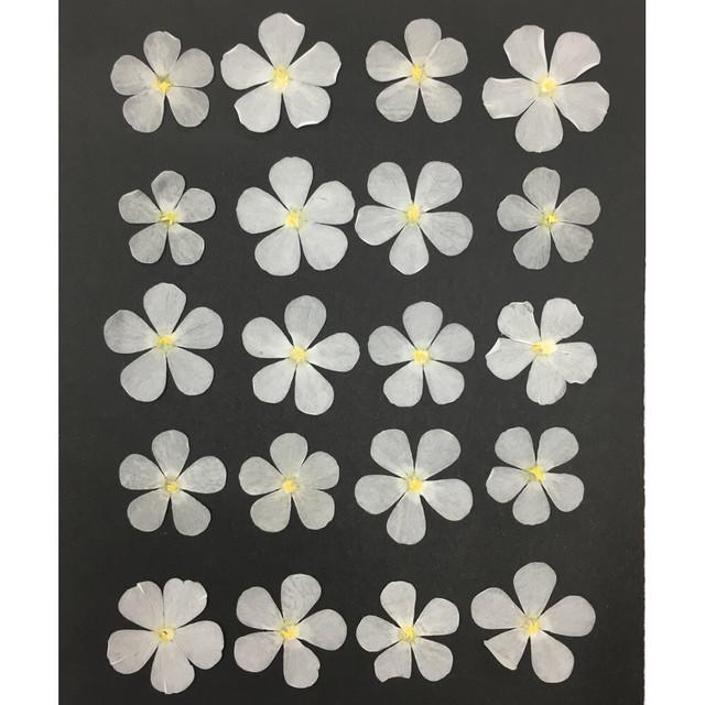 コンパクト押し花 フロックス(ホワイト)20枚をパックにしてお届け! 押し花素材