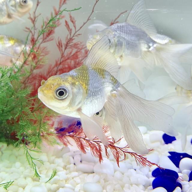 【国産 金魚】高頭青文魚 1匹  (7センチ前後/選びなし) 1匹  金魚 生体