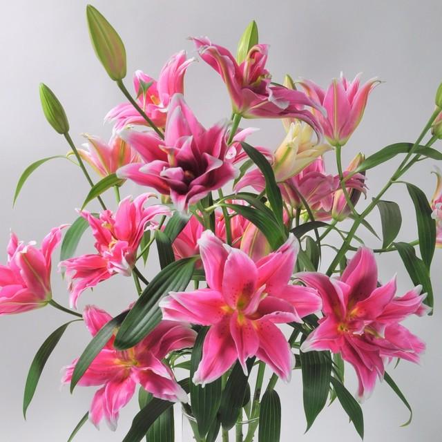 LY Lily 八重ユリ 濃いピンク 3本